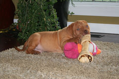 Puppy with big bone. A dogue de bordeaux puppy with a bone and toy Royalty Free Stock Photography