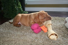 Puppy with big bone. A dogue de bordeaux puppy with a bone and toy Royalty Free Stock Photo