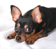 Puppy with big ears. A close-up portrait of a lying russian toy terrier Royalty Free Stock Image