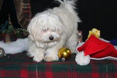 Puppy bij Kerstmis Stock Foto