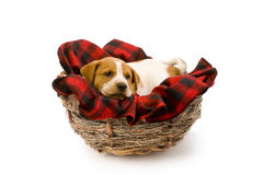 Puppy in bird nest Stock Image