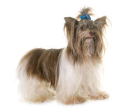 Puppy biro yorkshire terrier Stock Photos