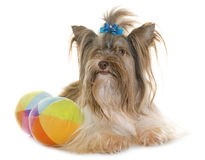 Puppy biro yorkshire terrier Stock Images