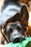 A puppy bit in a duster. A face of the German shepherd puppy bit in a duster Royalty Free Stock Photo