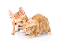 Puppy bites the cat& x27;s ear. isolated on white background Royalty Free Stock Photos