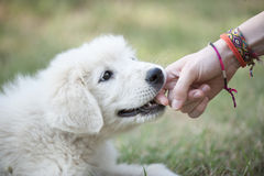 Puppy bites an hand Royalty Free Stock Photo