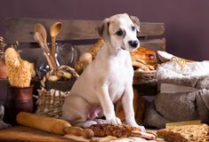 Whippet puppy bites a loaf, eats bread Royalty Free Stock Photography