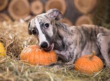 Whippet puppy bites a loaf, eats bread Stock Photos