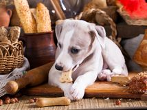 Whippet puppy gnaws a loaf, biscuit cookies Stock Images