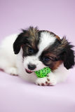 Puppy biting ball Royalty Free Stock Photography