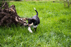 Puppy bitzer is exploring environment. Stock Photo