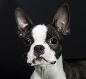 Puppy on black background Royalty Free Stock Image
