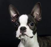 Puppy on black background. Boston terrier puppy studio shot Royalty Free Stock Image