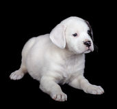 Puppy on a Black Background Royalty Free Stock Photo