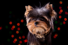 Puppy on a black background. Yorkshire terrier puppy on a black background Royalty Free Stock Photos