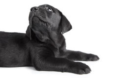 Puppy black dog labrador Royalty Free Stock Images