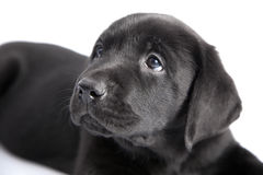 Puppy black dog labrador Royalty Free Stock Photography