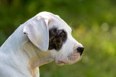 Puppy with black eye profile. Dogo argentino puppy with black eye profile. Cute dog Royalty Free Stock Photography