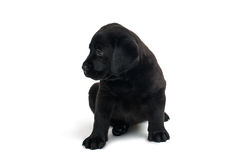 Puppy Black Labrador Royalty Free Stock Images
