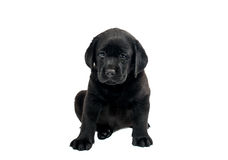 Puppy Black Labrador Stock Photography