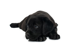 Puppy Black Labrador Royalty Free Stock Photo