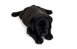 Puppy Black Labrador Royalty Free Stock Photography