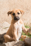 Puppy with black muzzle looking at camera Stock Images