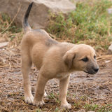 Puppy with black muzzle stretching head forwards Stock Images