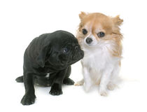 Puppy black pug and chihuahua Stock Photo