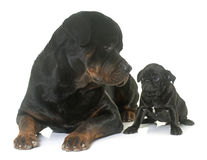 Puppy black pug and rottweiler Royalty Free Stock Photos