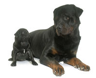 Puppy black pug and rottweiler Stock Photo
