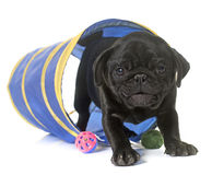 Puppy black pug Royalty Free Stock Photos