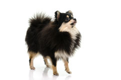 Puppy black tan pomeranian looking up on white background Royalty Free Stock Images