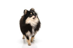 Puppy black tan pomeranian looking up on white background Stock Photography