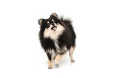 Puppy black tan pomeranian looking up on white background Royalty Free Stock Photography