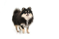 Puppy black tan pomeranian looking up on white background Royalty Free Stock Image