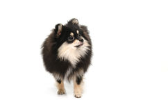 Puppy black tan pomeranian looking up on white background Stock Photo