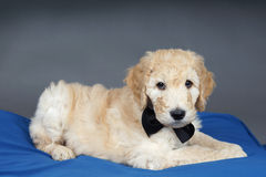 Puppy with black tie. Goldendoodle puppy with black bow tie on blue and grey Royalty Free Stock Image