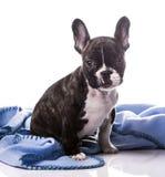 Puppy on blanket. Cute french bulldog on blanket Stock Photo