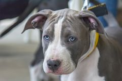 Portrait of an american staffordshire terrier. A puppy of the blue American Staffordshire Terrier stock photography