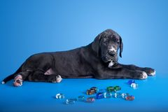 Puppy on the blue Royalty Free Stock Photography