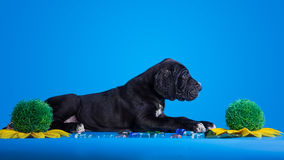 Puppy on the blue Royalty Free Stock Image