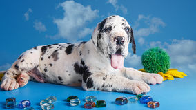 Puppy on the blue Stock Photos