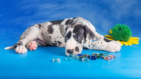 Puppy on the blue Royalty Free Stock Photo