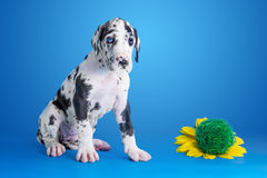 Puppy on the blue Stock Photography