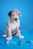 Puppy on the blue Stock Images