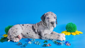 Puppy on the blue Stock Image
