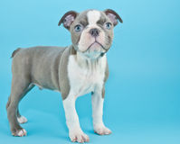 Puppy Blues Royalty Free Stock Photography