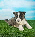 Puppy Blues Royalty Free Stock Photos
