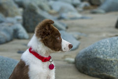 Puppy boarder collie Stock Photos